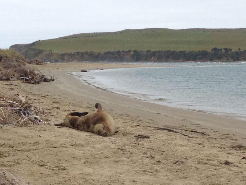 Seal at Surat Bay, NZ
