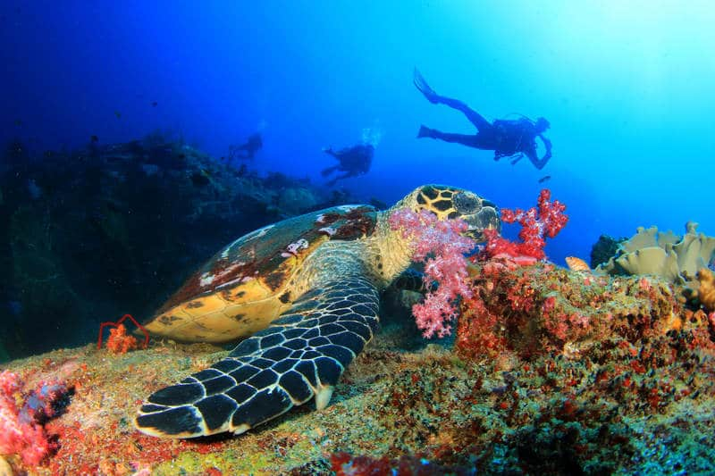 Sea turtle grazing on coral
