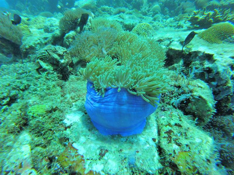 Beautiful blue coral near Tioman
