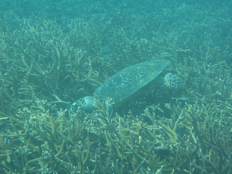 Sea turtle eating coral near Tioman