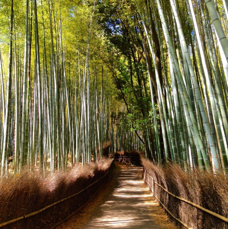 The Arashiyama bamboo forest in Kyoto