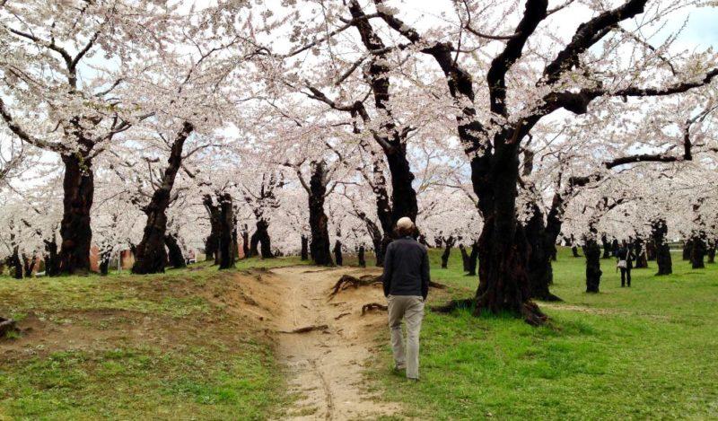 Goryōkaku Castle Hokkaido Japan cherry blossom viewing Sakura