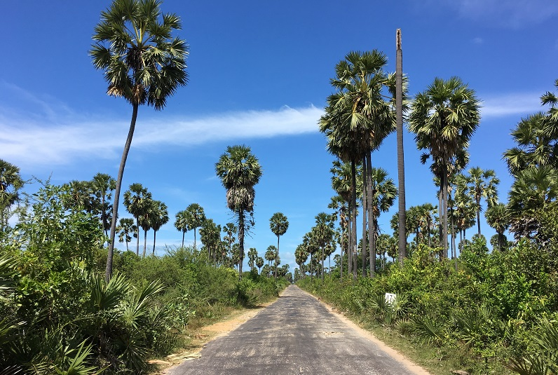 Palm trees lining road in Jaffna, Sri Lanka