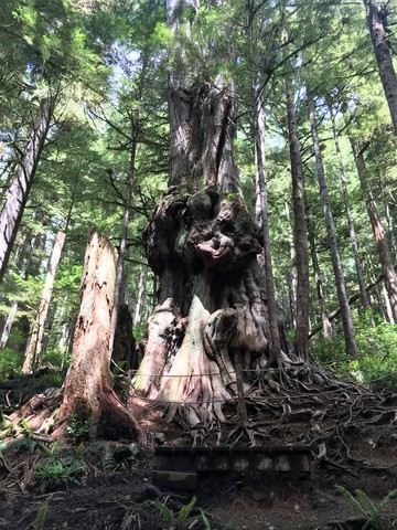 Canada's Gnarliest Tree in Avatar Grove - things to do on Vancouver Island