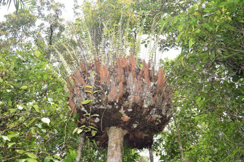 Birdsnest Fern - which plants grow in the Daintree rainforest