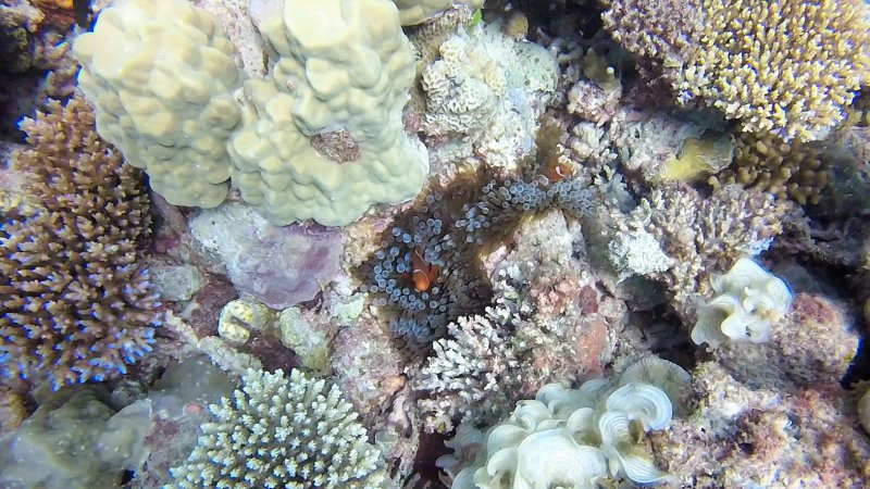 Clownfish Nemo Great Barrier Reef scuba diving experience