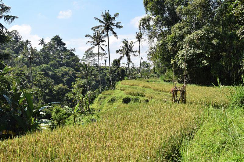 Rice fields Sebatu Bali