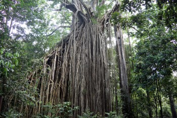 The Curtain Fig Tree - East Coast Australia road trip