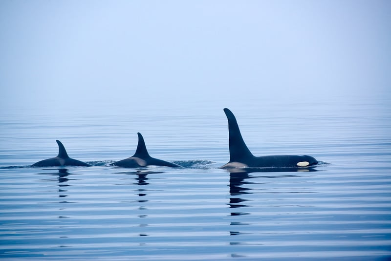 Killer whales on whale watching tour in Victoria Vancouver Island