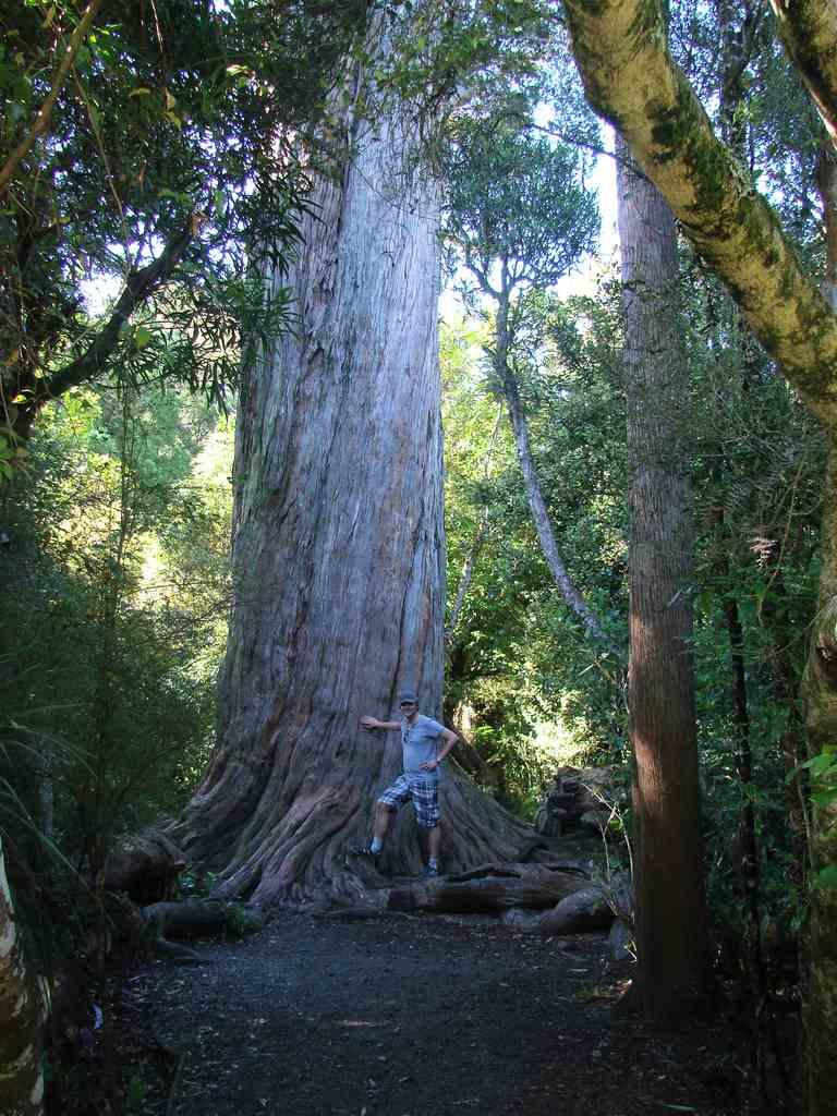 Tall tree in New Zealand