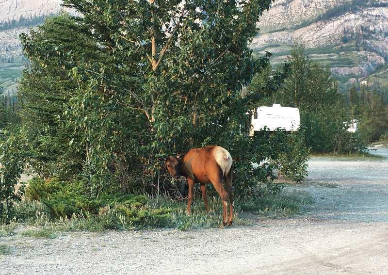 Elk at campsite in Banff National Park